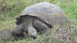 1024px-A_gigantic_galapagos_tortuga_on_the_island_of_santa_cruz